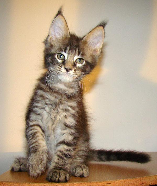 Котята мейн кун фото в 2 месяца