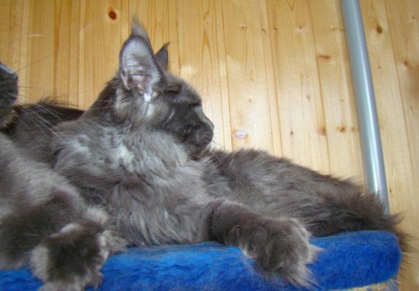 Котенок мейн кун окрас голубой дым