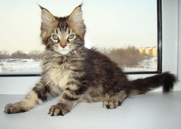 фото мейн кун котенок 2 месяца