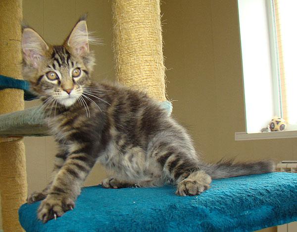 мейн кун котята фото 3 месяца