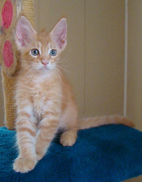 мейн кун котёнок 2 месяца фото