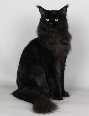 Кот мейн кун черный