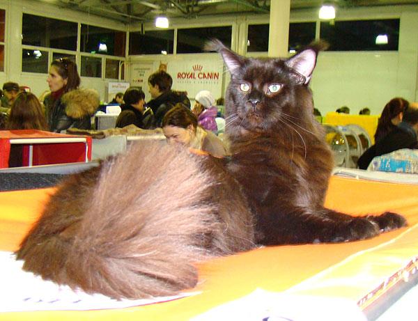 Кот мейн кун выставки